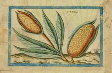« Mamaix » ou maïs. Planche 43 du Brief discours…