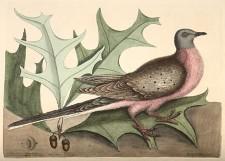 Tourte ou pigeon voyageur