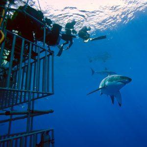 Des plongeurs en plongée libre et des requins