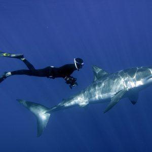 Une plongée libre avec un grand requin blanc